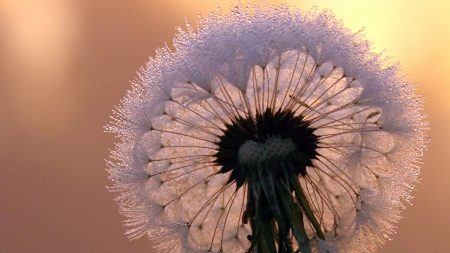 close-up, dandelion, stem