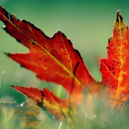 close-up, leaf, autumn