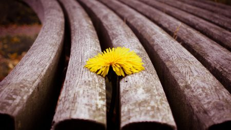 close-up, timber, dandelion