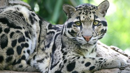 clouded leopard, spotted, sits