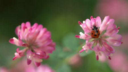 clover, ladybug, crawling
