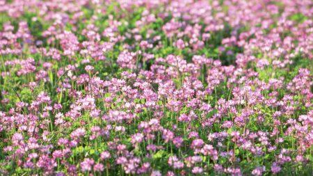 clover, meadow, green