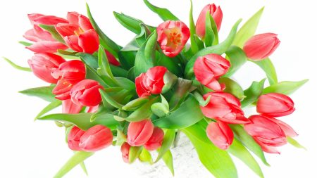 color, red, tulips