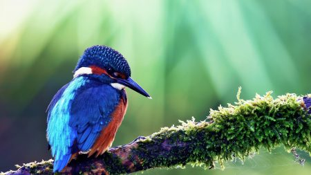 common kingfisher, bird, color