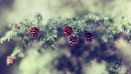 cones, fir-tree, branch