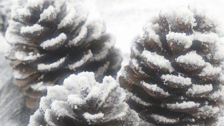 cones, snow, winter