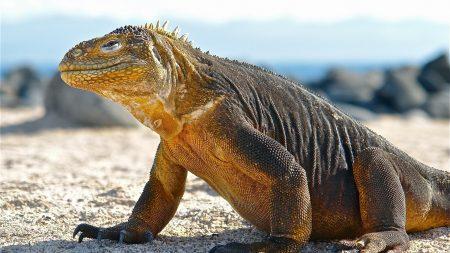 conolophus, galapagos islands, scales