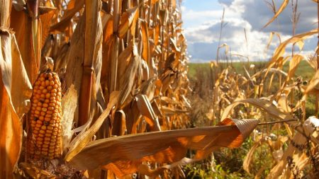 corn, agriculture, field