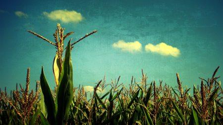 corn, sky, blue