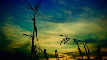 corn, stalk, outlines