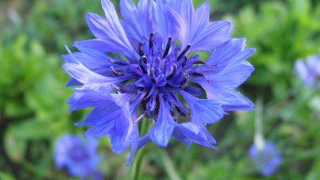 cornflower, flower, field