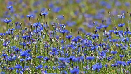 cornflowers, flowers, meadow