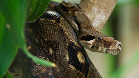 costa rica, snake, anaconda