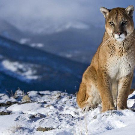 cougar, snow, mountain