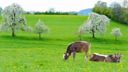 cows, grass, spring
