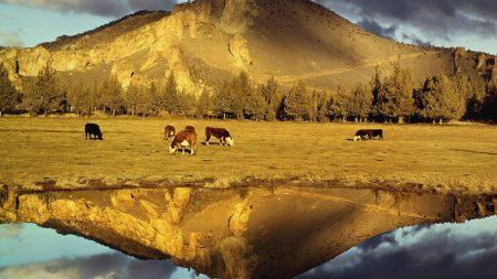 cows, pasture, mountain
