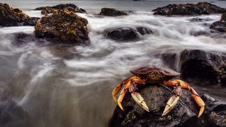 crab, sea, claws
