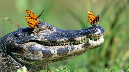 crocodile, butterfly, face