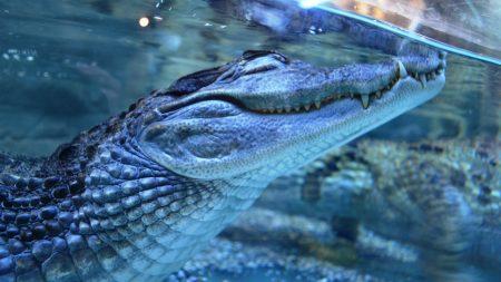 crocodile, dream, under water