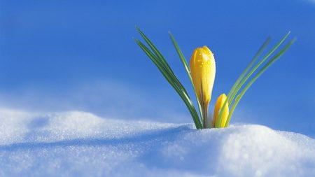 crocus, flower, drops