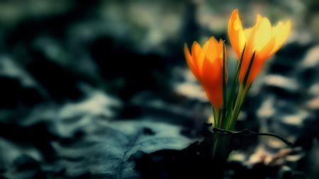 crocus, flowers, leaves