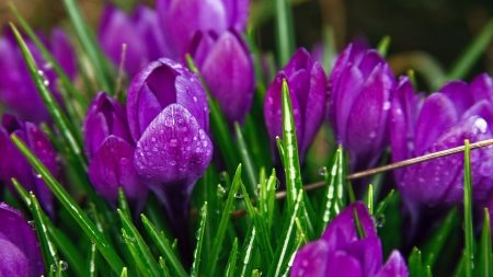 crocuses, flowers, drops