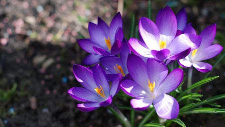 crocuses, flowers, loose