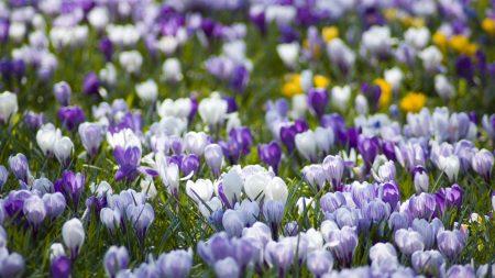 crocuses, flowers, meadow