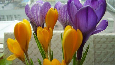 crocuses, flowers, primrose