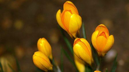 crocuses, flowers, primroses