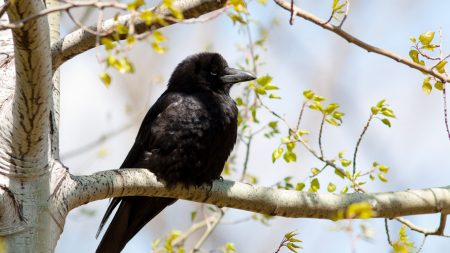 crow, branch, tree