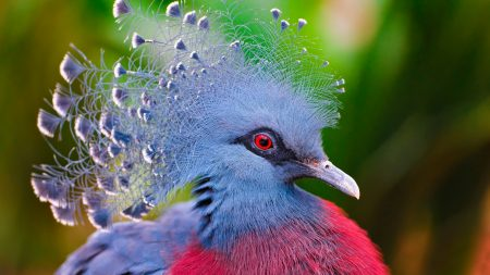 crowned pigeon, feathers, bird
