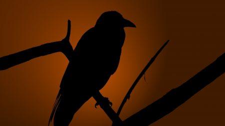 crows, bird, shadow
