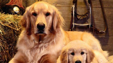 cub, dog, puppy
