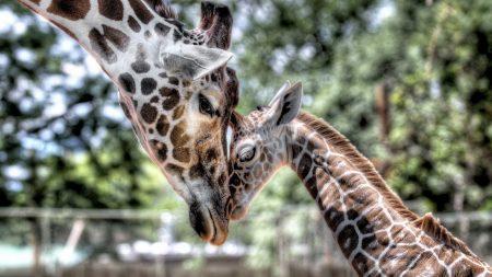 cub, giraffe, baby