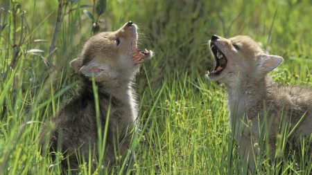 cubs, grass, shouting