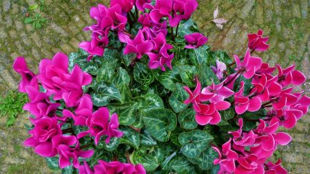 cyclamen, flower, leaves