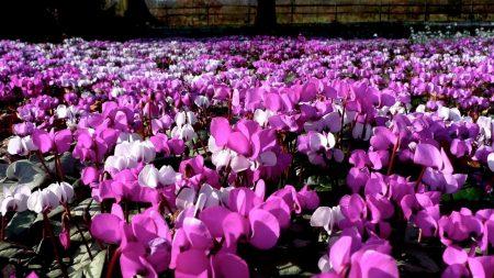 cyclamen, flowers, pink