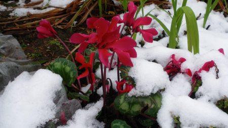 cyclamen, flowers, snow
