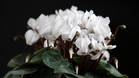 cyclamen, flowers, white
