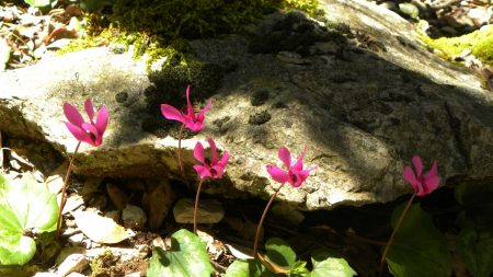 cyclamen, leaves, stones