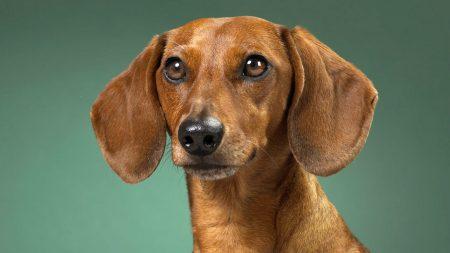 dachshund, dog, muzzle