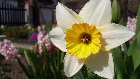 daffodil, flower, flowerbed