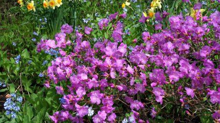 daffodils, flowers, bloom