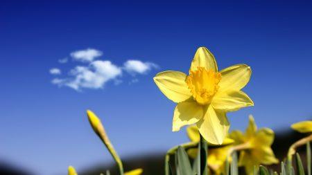daffodils, flowers, buds