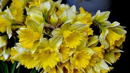 daffodils, flowers, flower