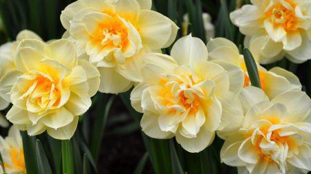 daffodils, flowers, flowing