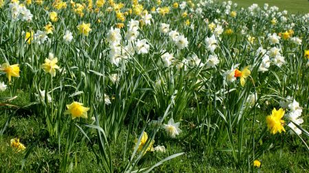 daffodils, flowers, grass