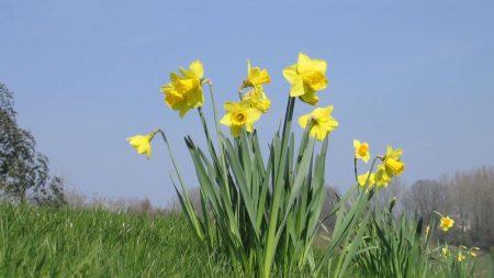 daffodils, flowers, meadow