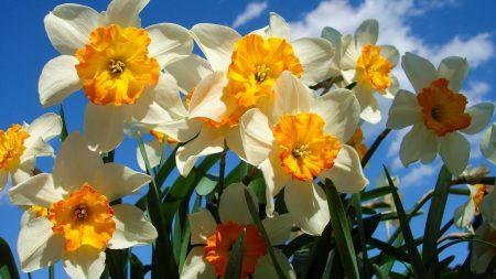 daffodils, flowers, sky